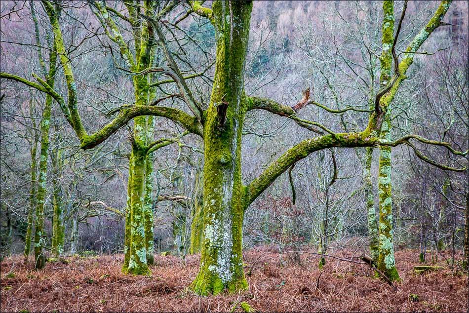 Loweswater walk, Holme Wood