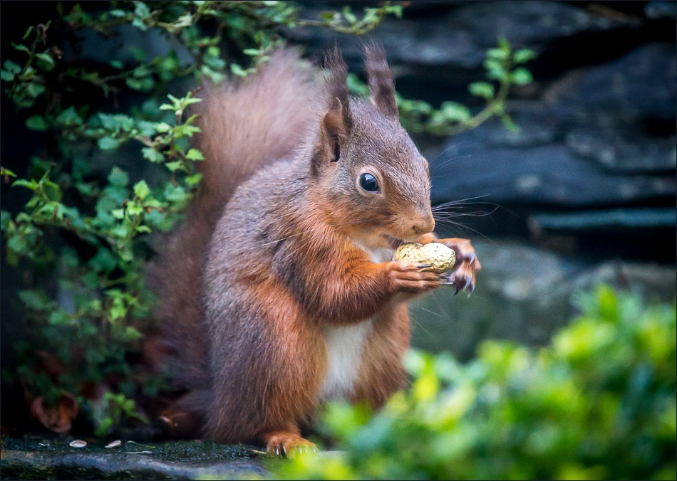 Red squirrel with nut, lake district