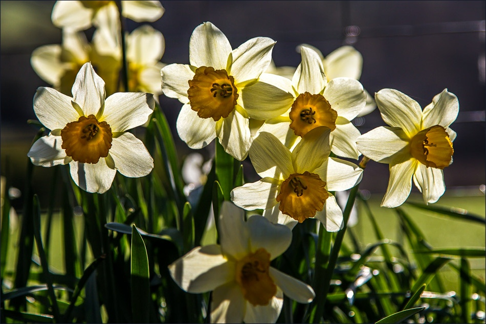 Daffodils, Loweswater