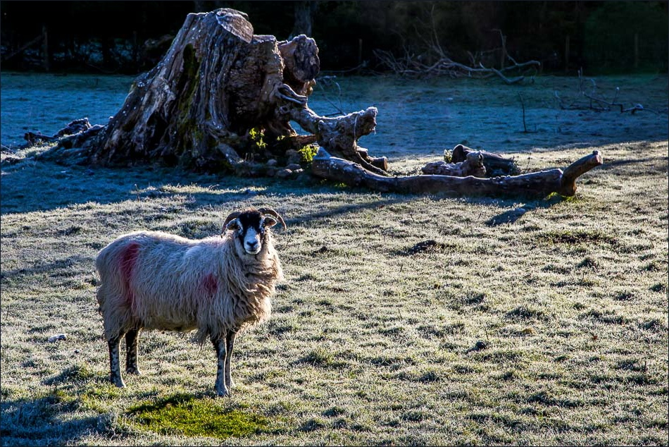 Loweswater sheep