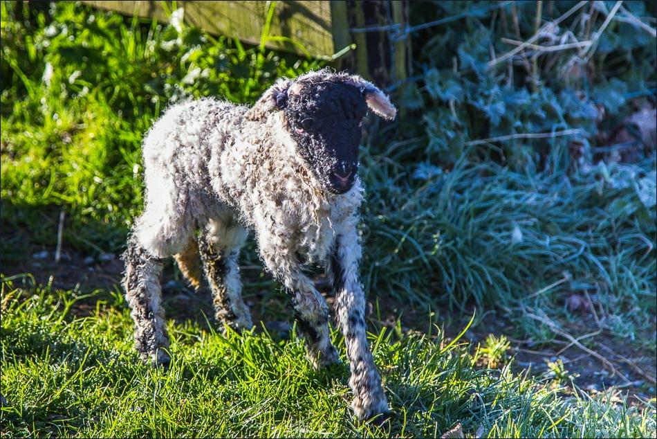 Newborn lamb Loweswater