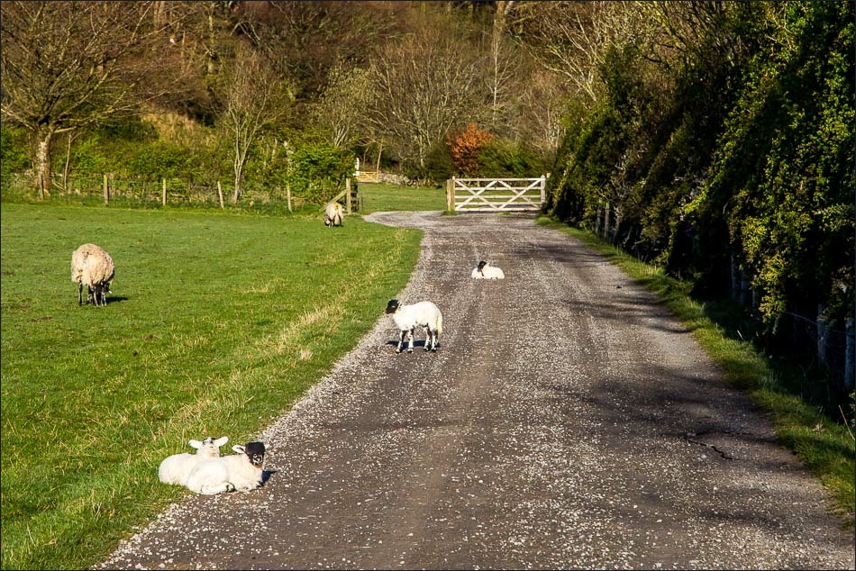 Lambs, Loweswater