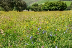 Wild meadow, Loweswater