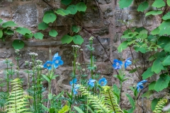 Himalayan blue poppy, Lowther Castle