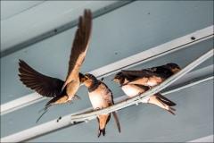 Baby Swallows, Lulworth