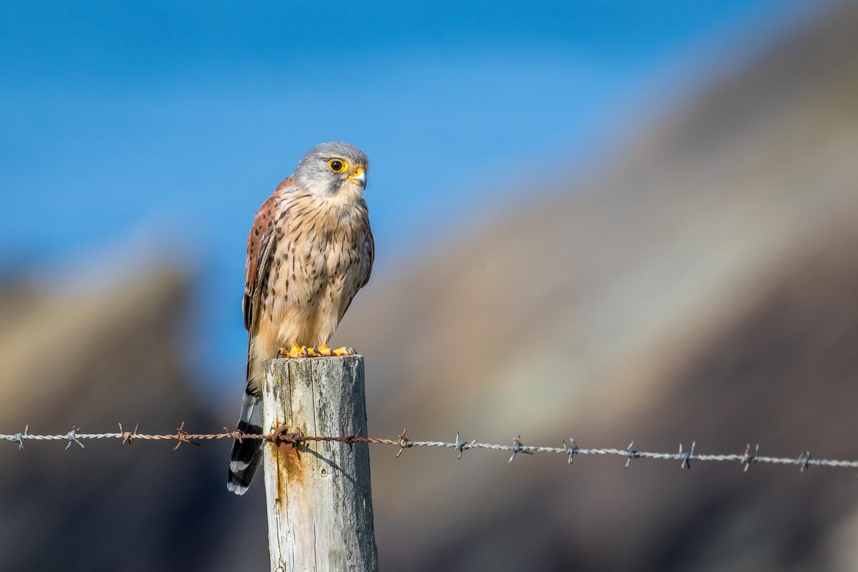Marloes Peninsula, kestrel