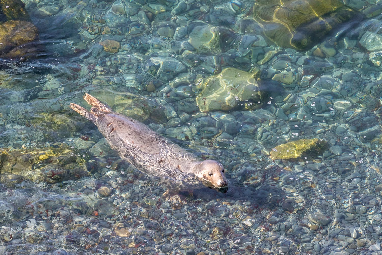 Marloes Peninsula, grey seal