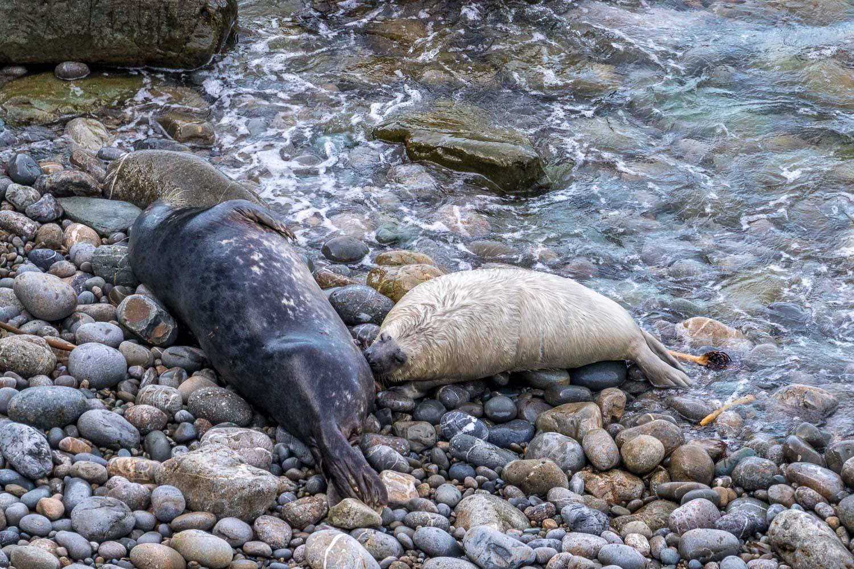 Marloes Peninsula walk, grey seal, suckling seal pup