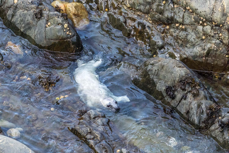 Marloes Peninsula, grey seal pup