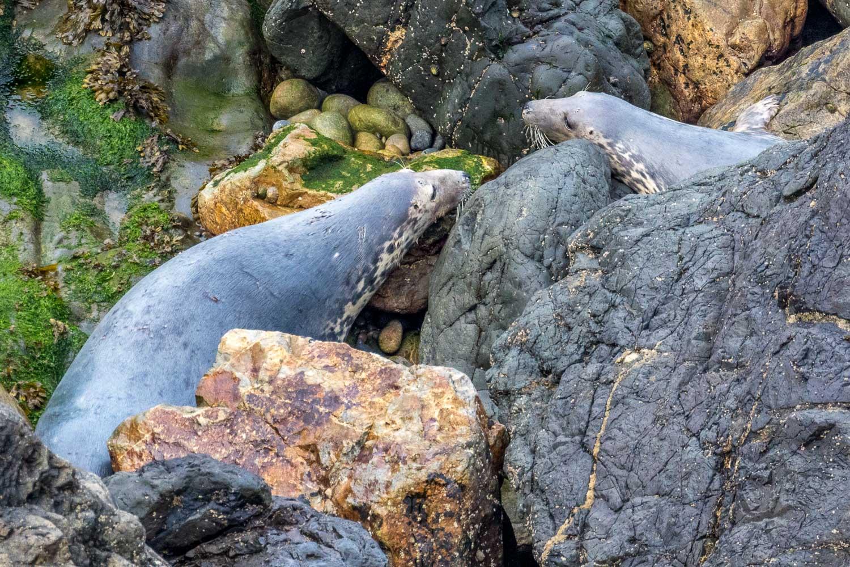 Marloes Peninsula walk, grey seal