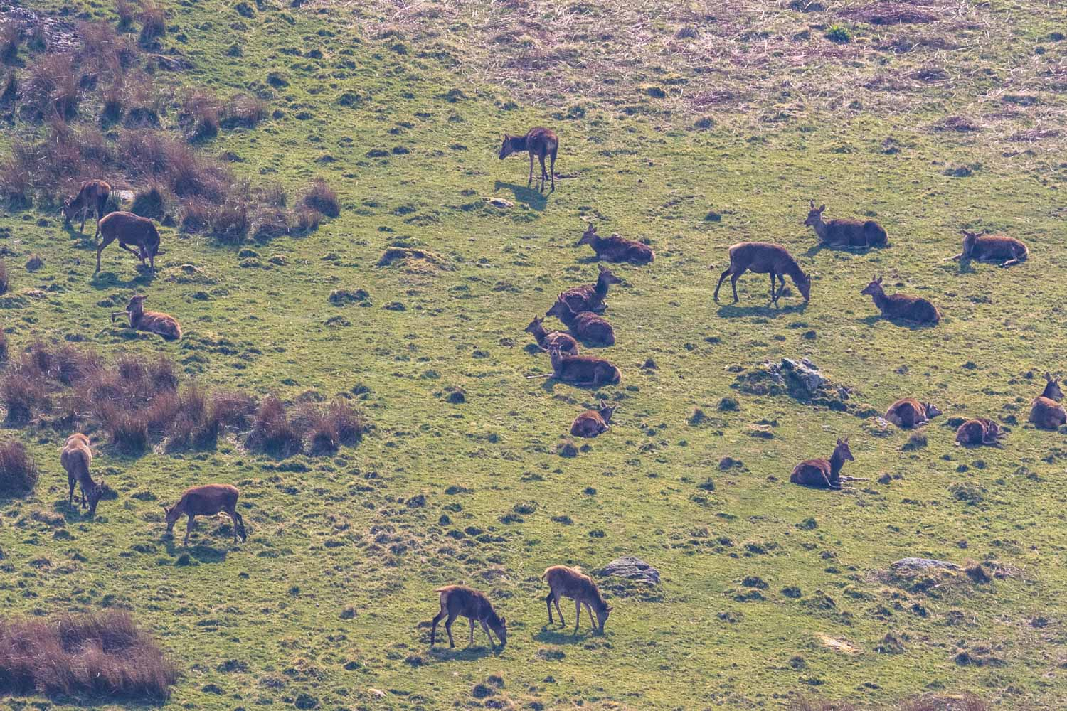 Martindale red deer