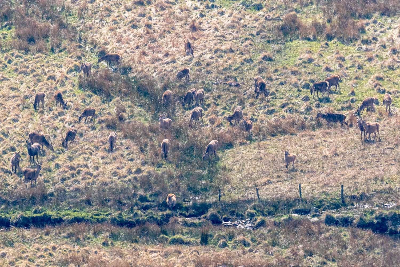 Martindale red deeer