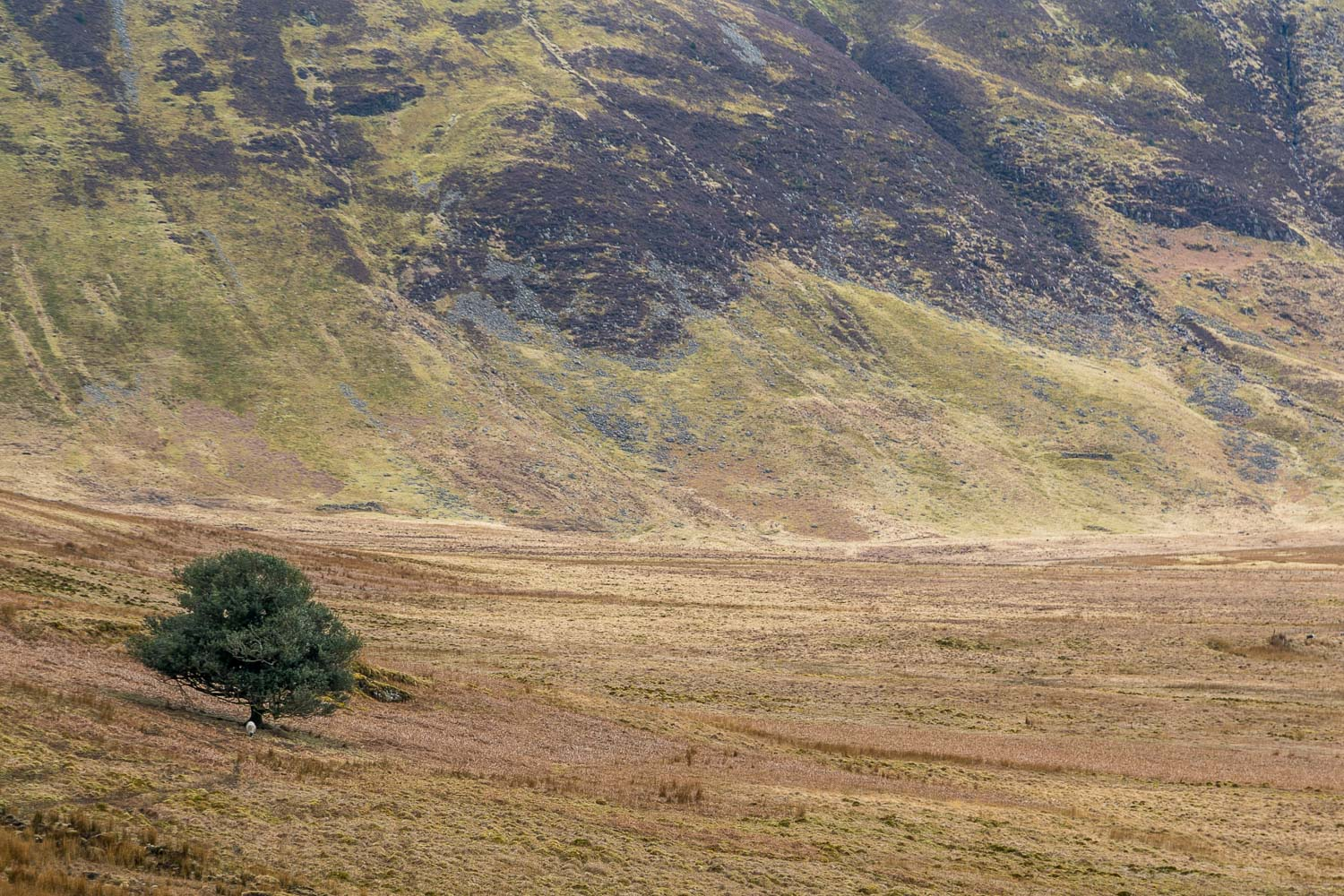 Mosedale Holly Tree