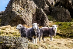 Herdwick, Middle Fell