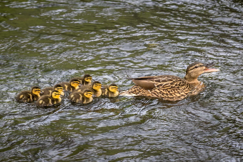 Mallard, ducklings