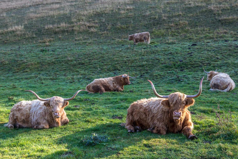Millington, highland cattle