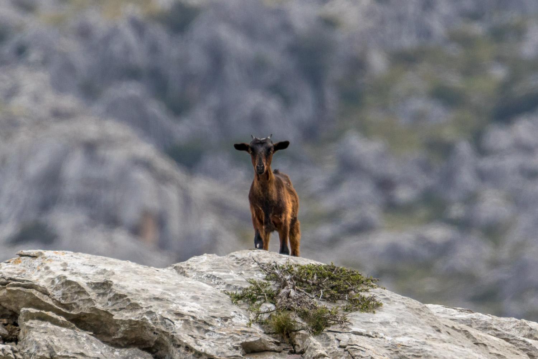 wild Mallorcan goat