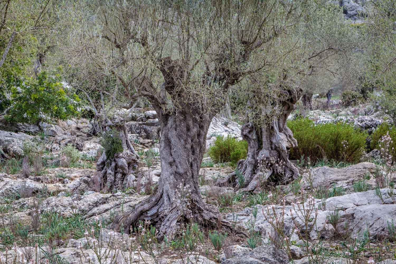 Mortitx olive trees