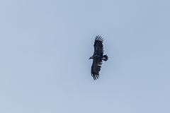 Black vulture Mortitx