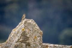 Mortitx spotted flycatcher