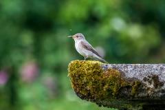 Spotted flycatche