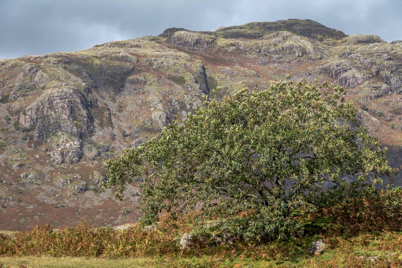 oak tree, Buckbarrow