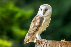 Muncaster Castle owls