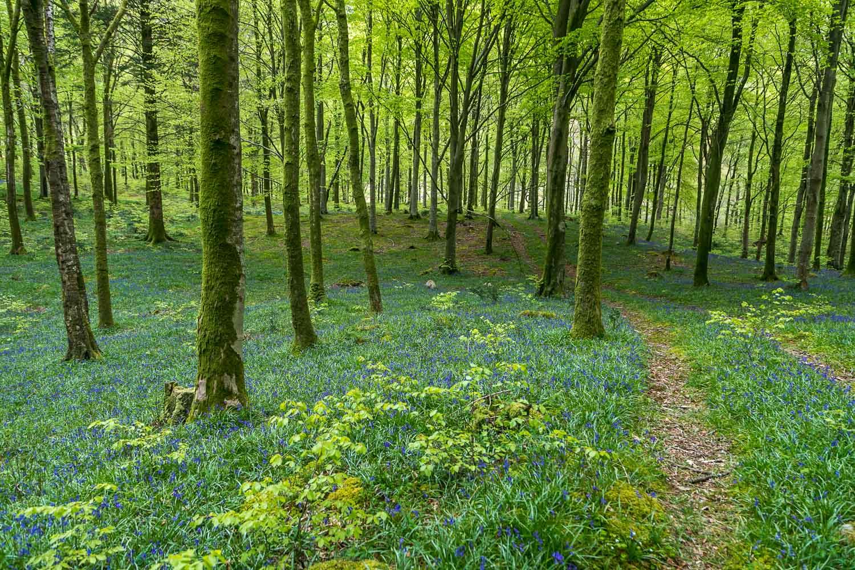 Low Wood, bluebells