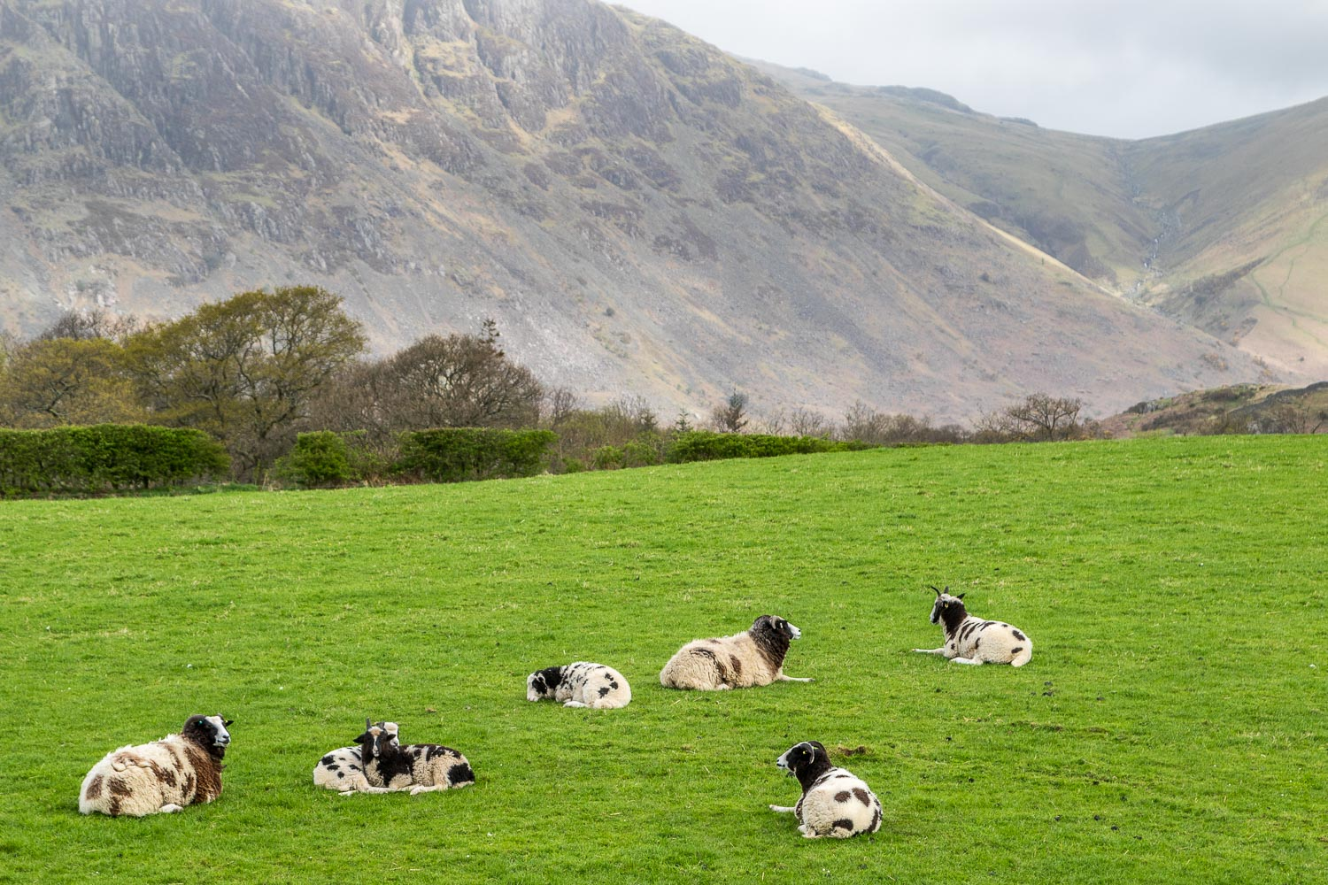 jacob sheep Nether Wasdale