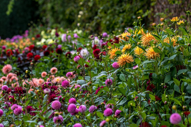 Newby Hall garden dahlias