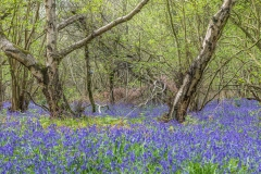 North Cliffe Wood bluebells