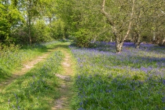 Bluebells, North Cliffe Wood