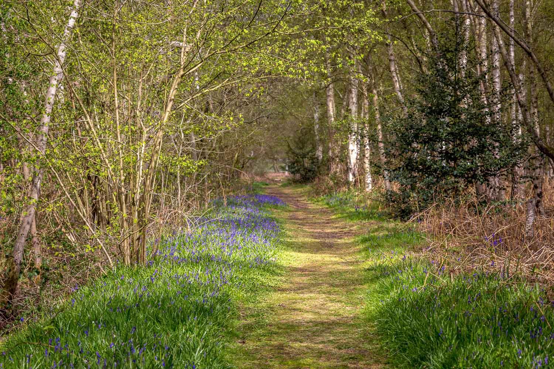 Northcliffe Wood walk, bluebells
