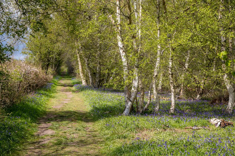 Northcliffe Wood, bluebells