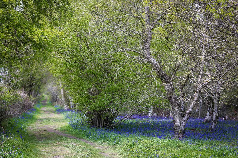 Northcliffe Wood, bluebells, bluebell wood