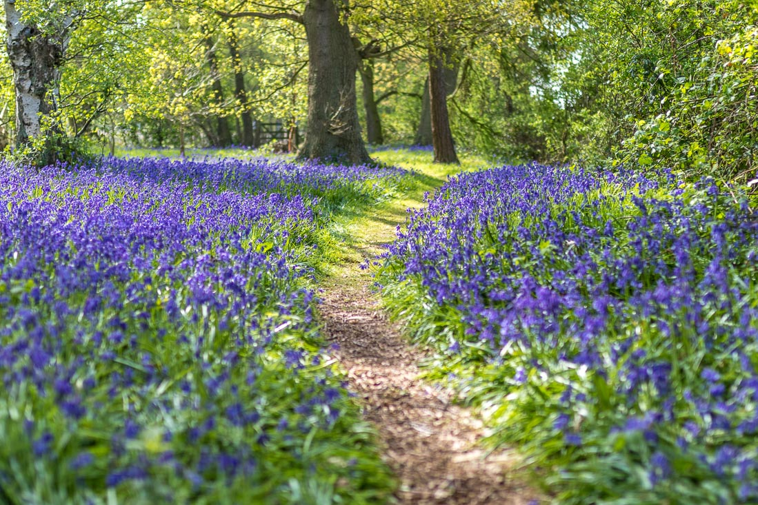 North Cliffe Wood walk, North Cliffe Wood bluebells