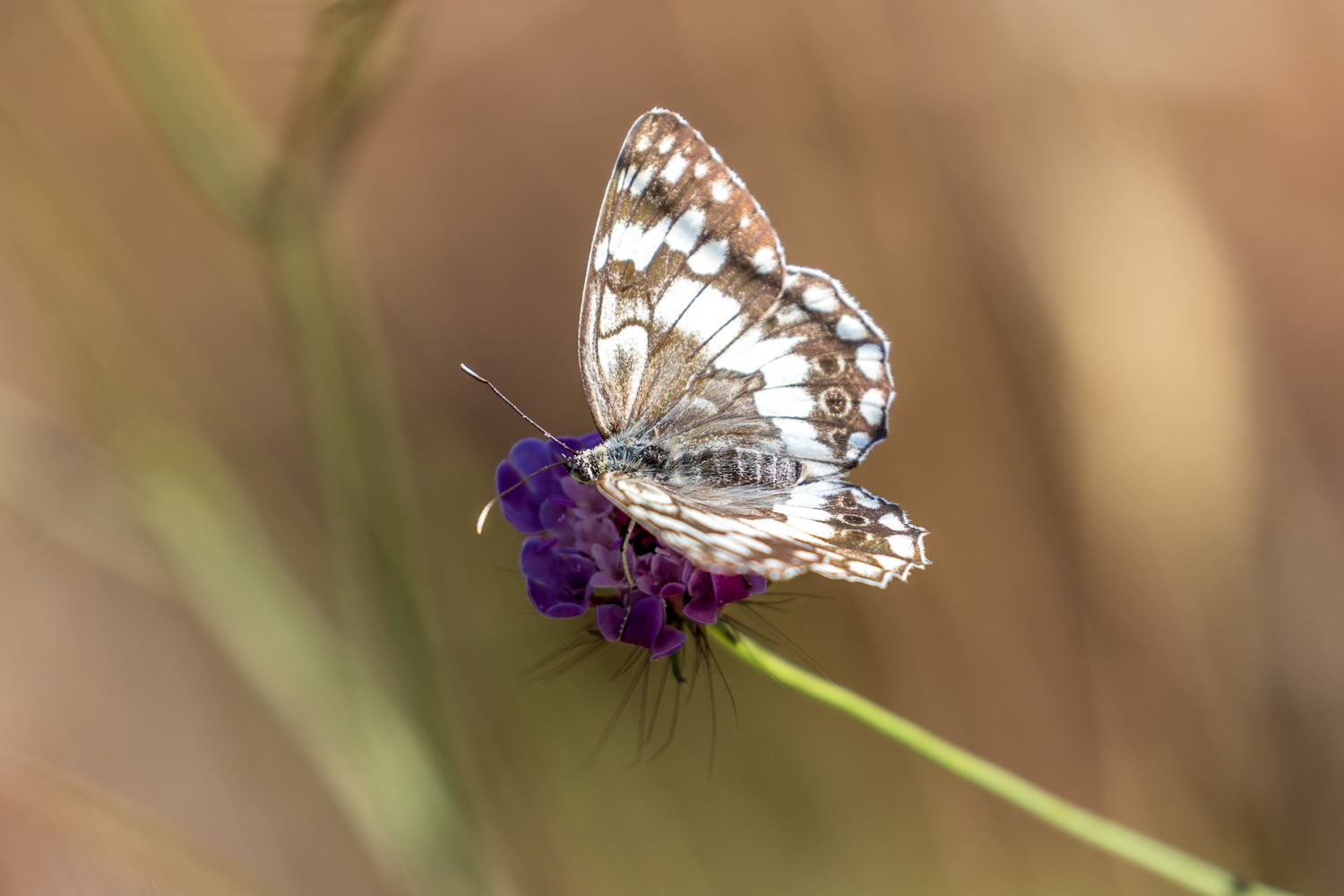 Marbled white Corfu