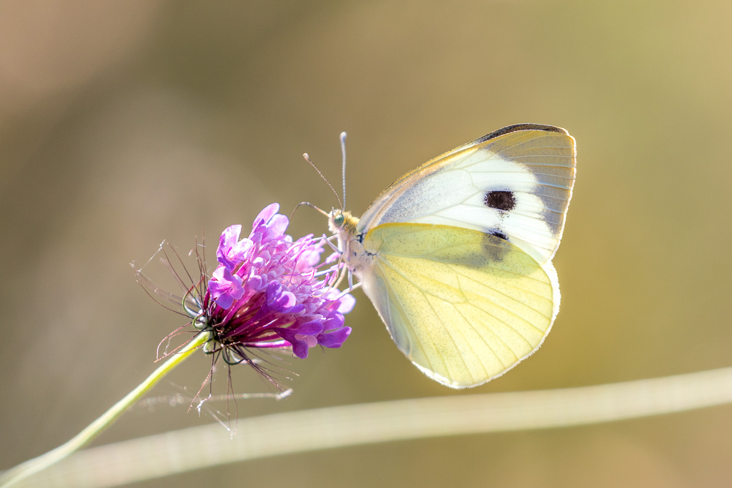 Large white butterfly Corfu
