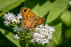 Wall brown butterfly Corfu