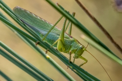 Grasshopper Corfu