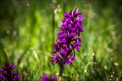 marsh orchid, Pyrenees
