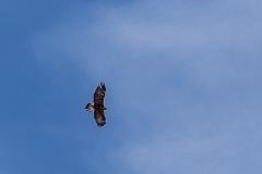 Philosophers' Trail, Golden eagle