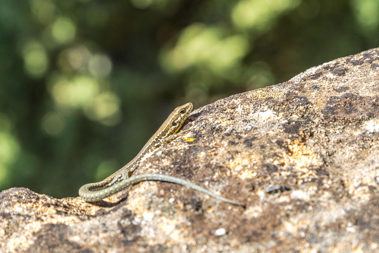 Lizard, Tuscany