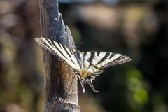 Swallowtail Corfu