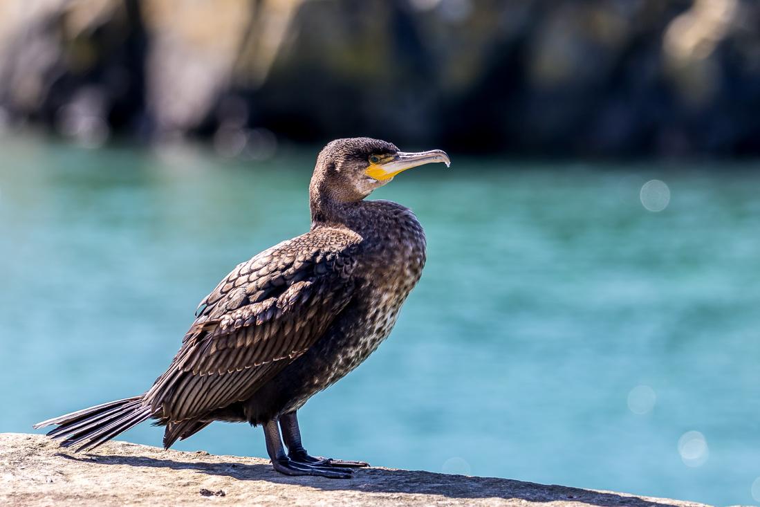 Portpatrick walk, Portpatrick, cormorant