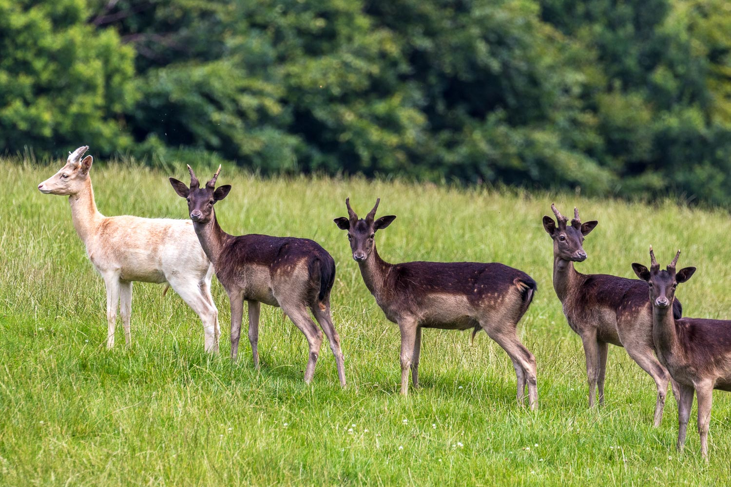 Raby Castle deer