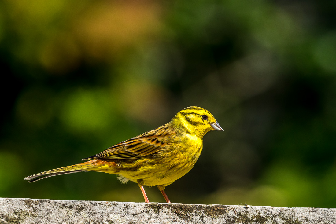Yellowhammer Lake District