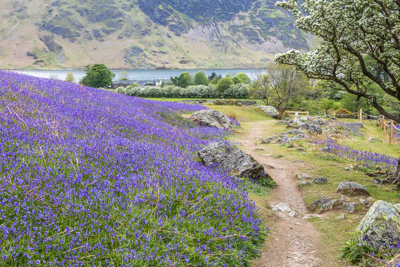Rannerdale bluebells walk