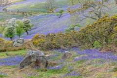 Rannerdale bluebells