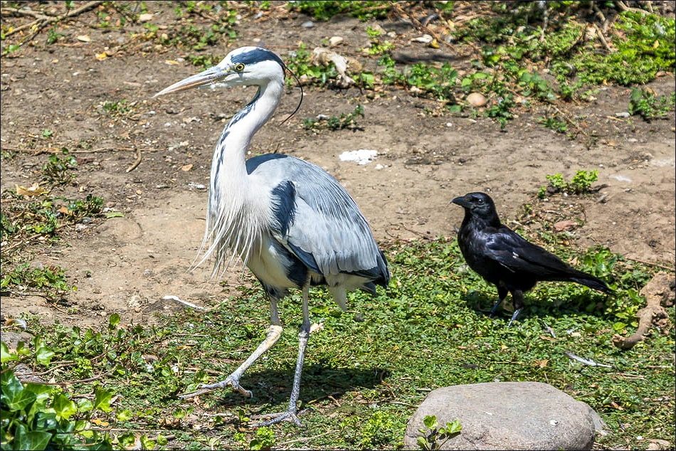 Regents Park heron